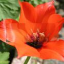 Blick durch den Sucher einer Messsucherkamera: Erst wenn beide Bilder im Zentrum deckungsgleich sind, ist die Tulpe scharf gestellt.