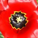 Eine Blume mit leuchtend roten Blütenblättern.