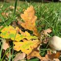 Der Herbst ist da. Zeit Pilze unter dem Laub der Bäume zu suchen.