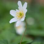 Achtet auf einen ruhigen Hintergrund. Wenn ihr mit Offenblende fotografiert, dann sollte es möglichst windstill sein, damit die Blüte im Fokus bleibt.