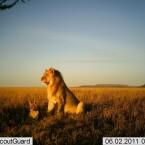 Löwenpapa und Löwenbaby bei Sonnenuntergang