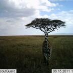 Leopardenhinterteil geht in Baum über