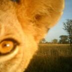 Löwinnen-Selfie