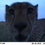 Leoparden-Selfie