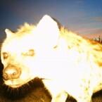 Hyänen-Selfie