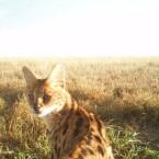 Wildkatzen mit Schulterblick