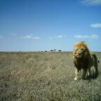 Löwe mit wehender Mähne