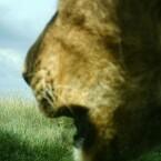 Löwenprofil
