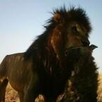 Löwe mit seiner Beute