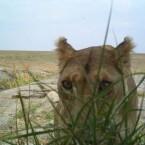 Schüchterne Löwin