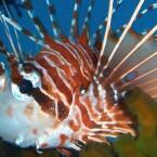 Feuerfisch 1