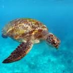 Wasserschildkröte 2