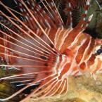 Feuerfisch 2
