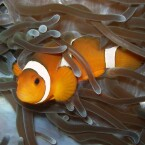 Clownfisch 2