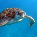Wasserschildkröte 1