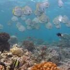 Fischschwarm und Korallen