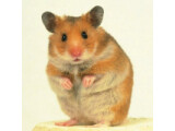 Icon: Syrian & Golden Hamster Care