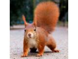 Icon: Squirrel