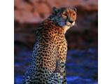 Icon: Leopard