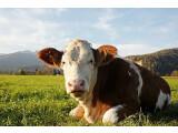 Bild: Internetnutzer sind wie Kühe auf der Weide. Sie grasen auf World Wide Weide, und müssen dafür Informationen geben.