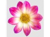 Bild: Die freigestellte Blüte ist die Basis für eine stilisierte Blume.