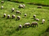 Bild: Die Herde hat keinen Schimmer, was der Hirte plant.