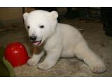 Bild: Gefragte Bärenmarke: Zootier Knut