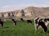 Bild: Immer der Nase nach: Stehen diese Kühe auf der Nord-Süd-Achse?