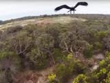Bild: Adler vs Drohne
