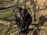 Bild: Der Schimpanse ist von einer Drohne in seinem Gehege offenbar nicht begeistert.