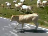 Bild: Die Kuh-Herde auf der Rennstrecke.