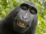 Bild: Dem grinsefreudigen Affen Naruto soll nun sein Urheberrecht zugesprochen werden.