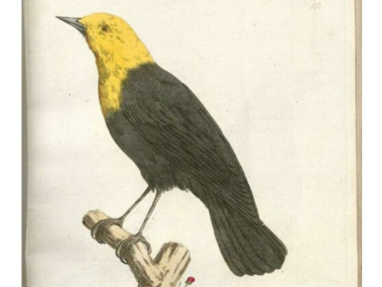 """Die Drossel ist eine Familie aus der Unterordnung der Singvögel. Ihr Gesang ist """"ein inhaltsreiches, wohl-und weit tönendes Lied"""", sagt der Tierforscher Alfred Brehm."""